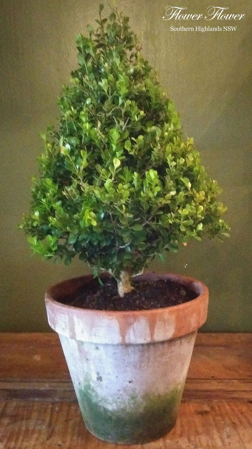 A_Jasmine_Buxus_Appro27cm_From110_2.jpg