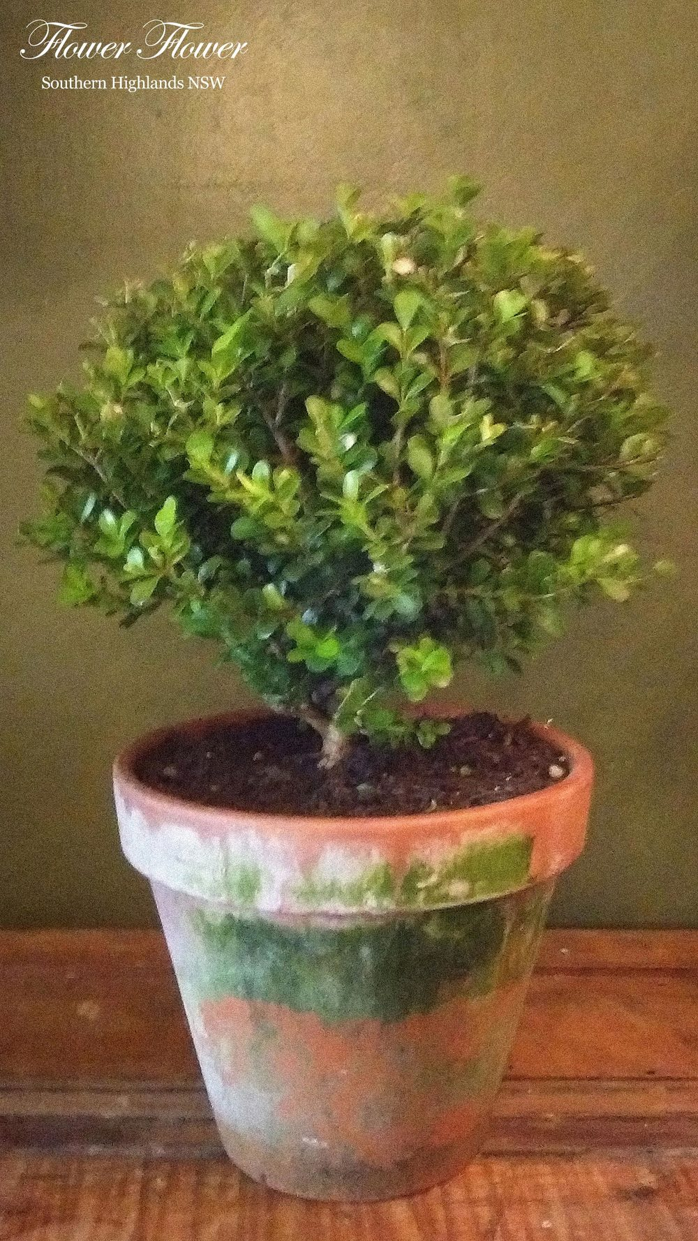 A_Jasmine_Buxus_Appro27cm_From110.jpg
