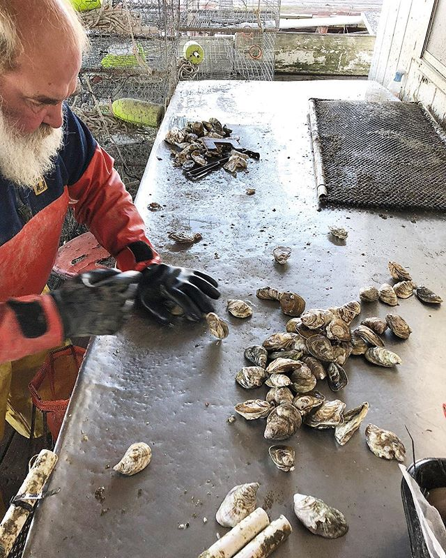 Measuring to see if they're ready for market... 📐 • • • #tangier #oysters #chesapeakebay #LoveVA #VAoysters #oysterfarming #oysterlover #tastethesea #seafood #VirginiaIsForLovers #VirginiaIsForOysterLovers #VAisForOysterLovers #eastcoastoysters #virginiaoystertrail #VAoystertrail #VirginiaIsBeautiful #tangierislandva #tangierisland #onthehalfshell #artisanscenterofvirginia #virginiaoystermonth #VAoystermonth #onthetable #foodandwine #eater #goodeats #eatwelllivewell