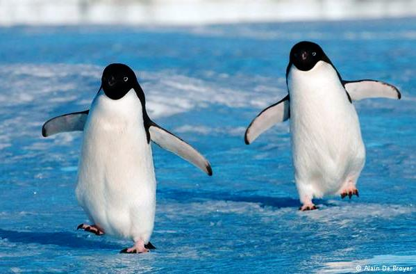 Penguins - Alain De Broyer.jpg