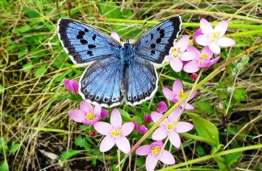 Butterfly large blue - Sarah Meredith.jpg