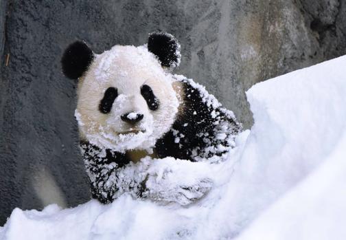 Panda in snow - Calgary Zoo.png