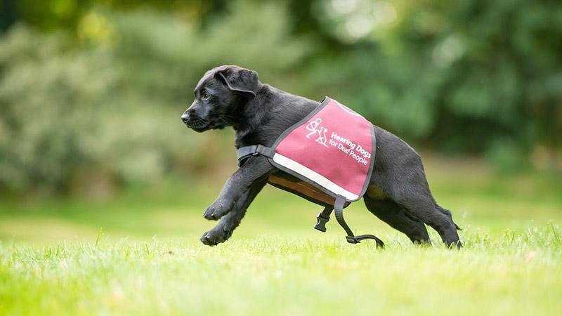 3-cani-hearing-dogs-i-migliori-amici-delle-persone-con-problemi-di-udito-udisens-news.jpg