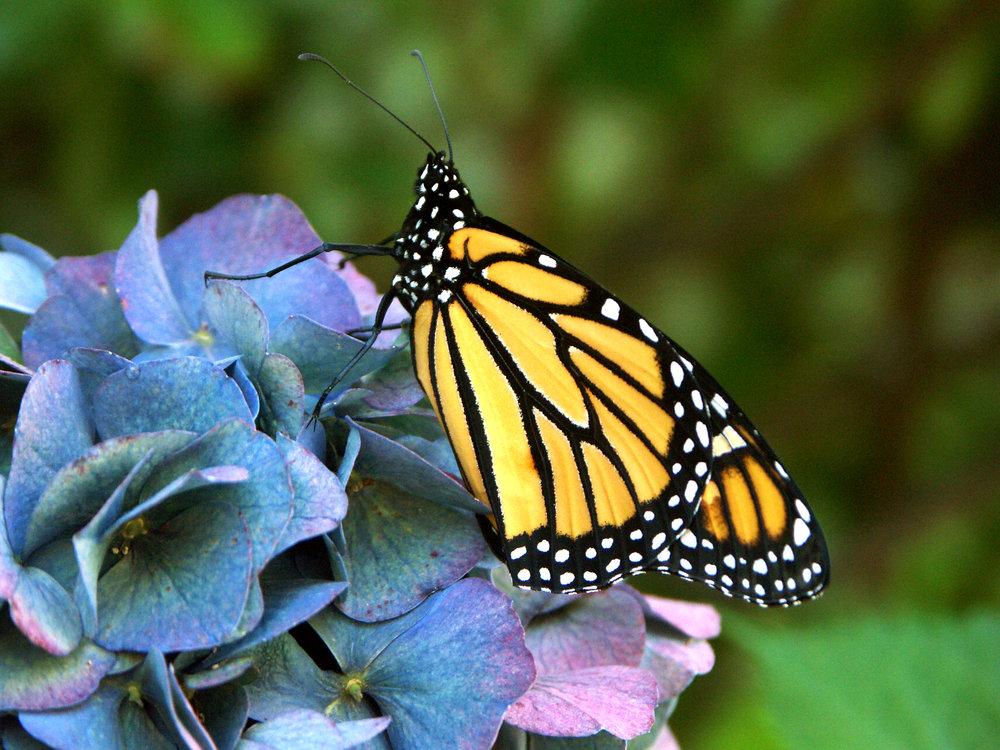 091106Mon Butterfly Hi 0001.jpg