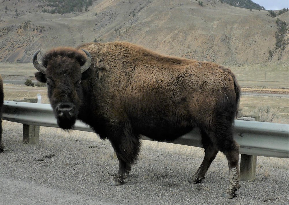 Yellowstone native