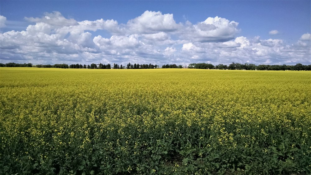 Canola Fields of Saskatchewan