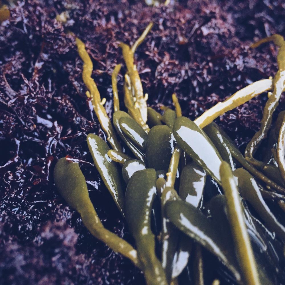 Sea Moss, Cliff Kuhn-Lloyd