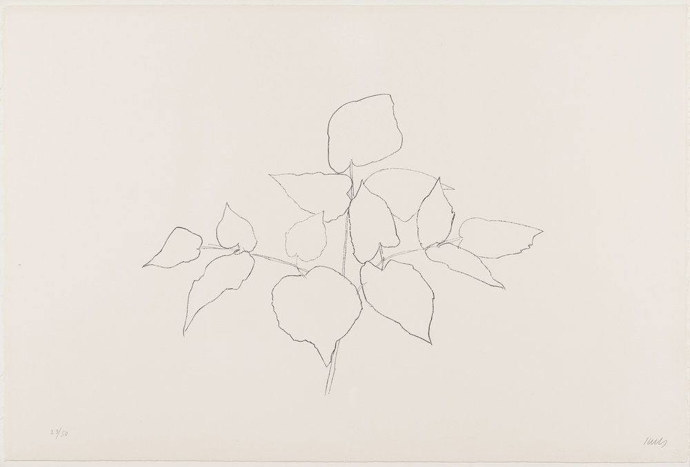 Ellsworth Kelly (1923-2015) Sarsaparilla (or Ailanthus Leaves), 1979-80 Transfer lithograph 31 1/2 x 47 inches