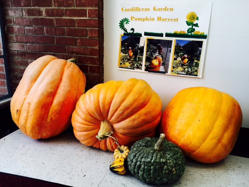 Pumpkins from the cordilleras garden: a combined 100 pounds!