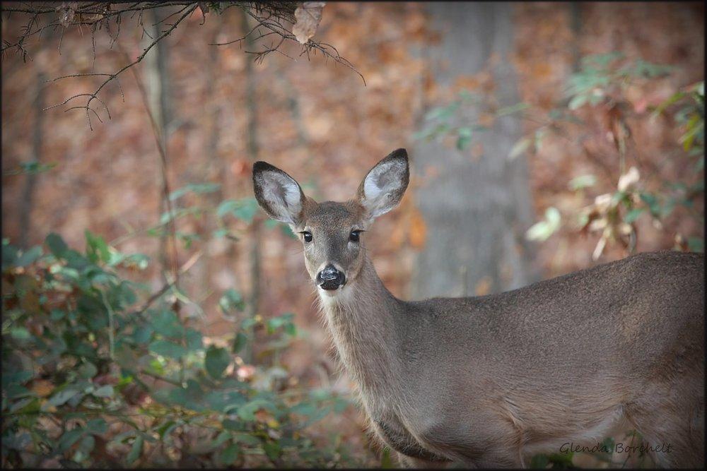 Deer 2 - Glenda Borchelt.jpg