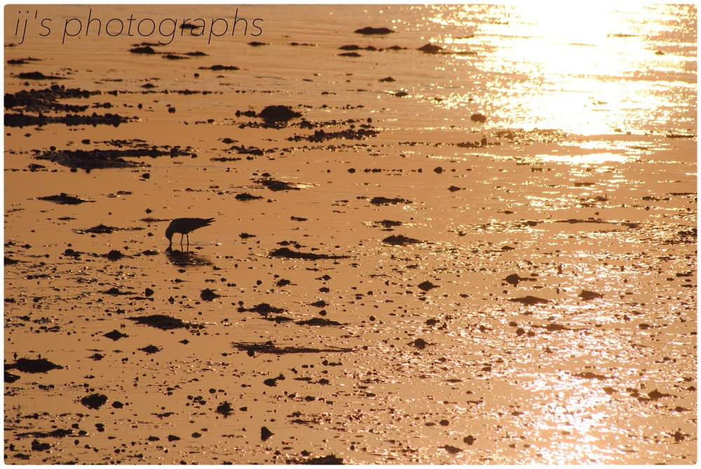lonely seabird in whitstable sunset (2013)