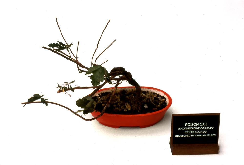 POISON OAK BONSAI     Twisting a classical symbol of cultivated beauty,    Poison Oak Bonsai  grows in a container painted with ground cinnabar, a dangerous, but beautiful mercuric compound that was used in Chinese alchemic elixirs and painting.