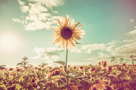 sunflower rising above