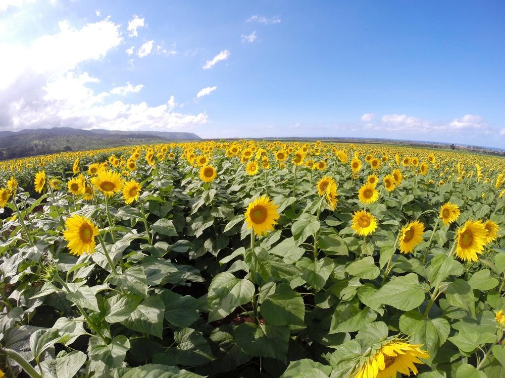 Sunflower Fields in Hawaii.