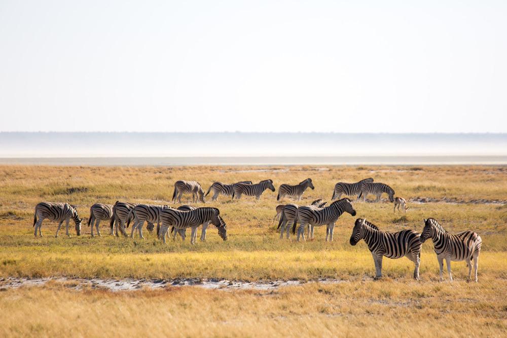 Zebras in Etosha National Park.