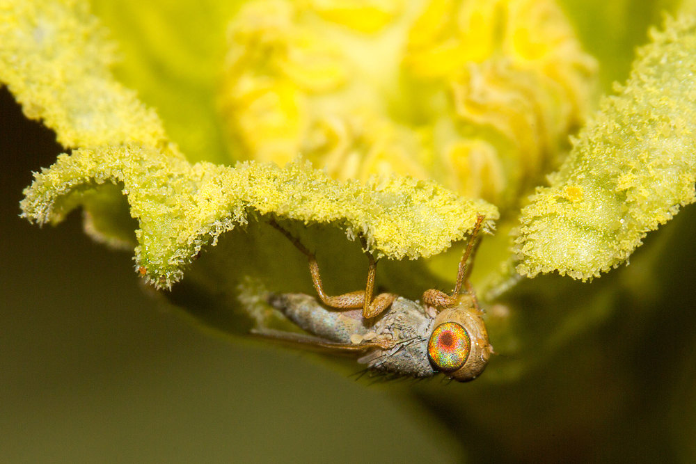 A !nara fly, with pollen grains on it's legs and body, clings to a !nara flower.