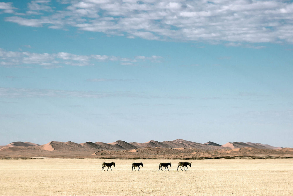 Topnaar livestock have roamed the edge of the Namib Sand Sea for centuries