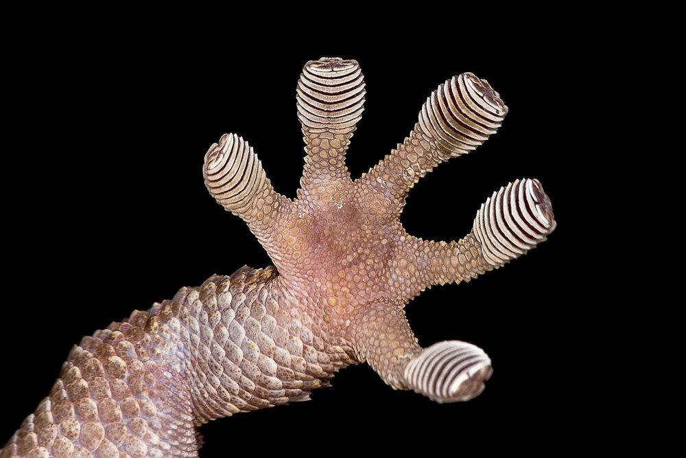 Chondrodactylus turneri.jpg