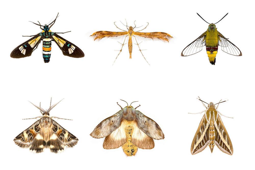 GBB Moths.jpg