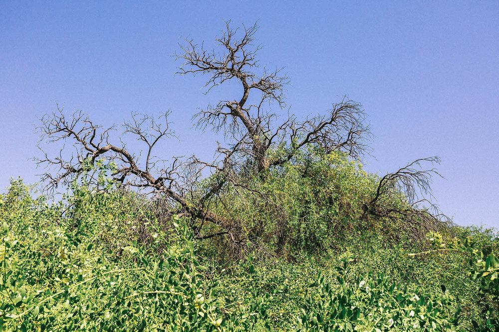 Salvadora persica  engulfs a camel thorn tree