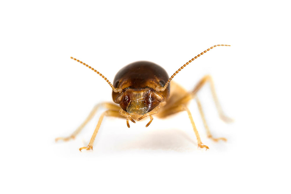 A termite worker of the species  Hodotermes mossambicus
