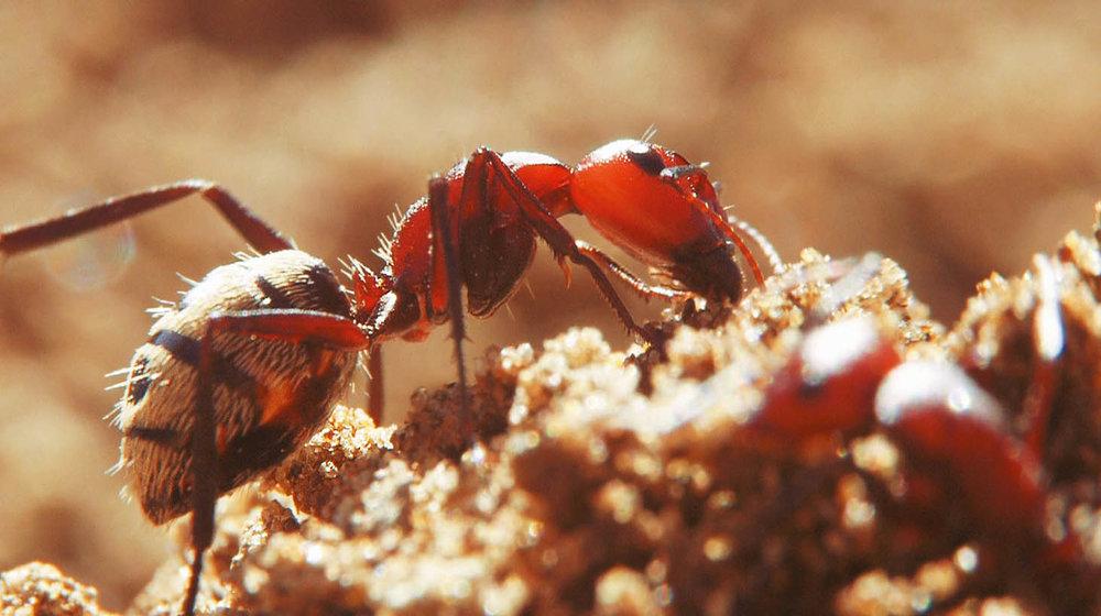 A dune ant,  Camponotus detritus,  drinks from a damp termite soil dump