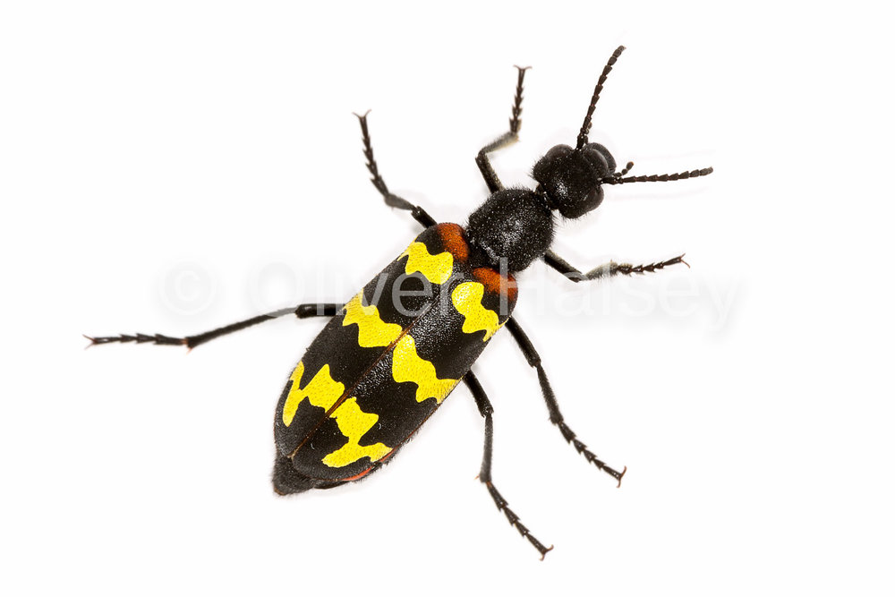 M7.  Blister Beetle,  Mylabris   zigzaga