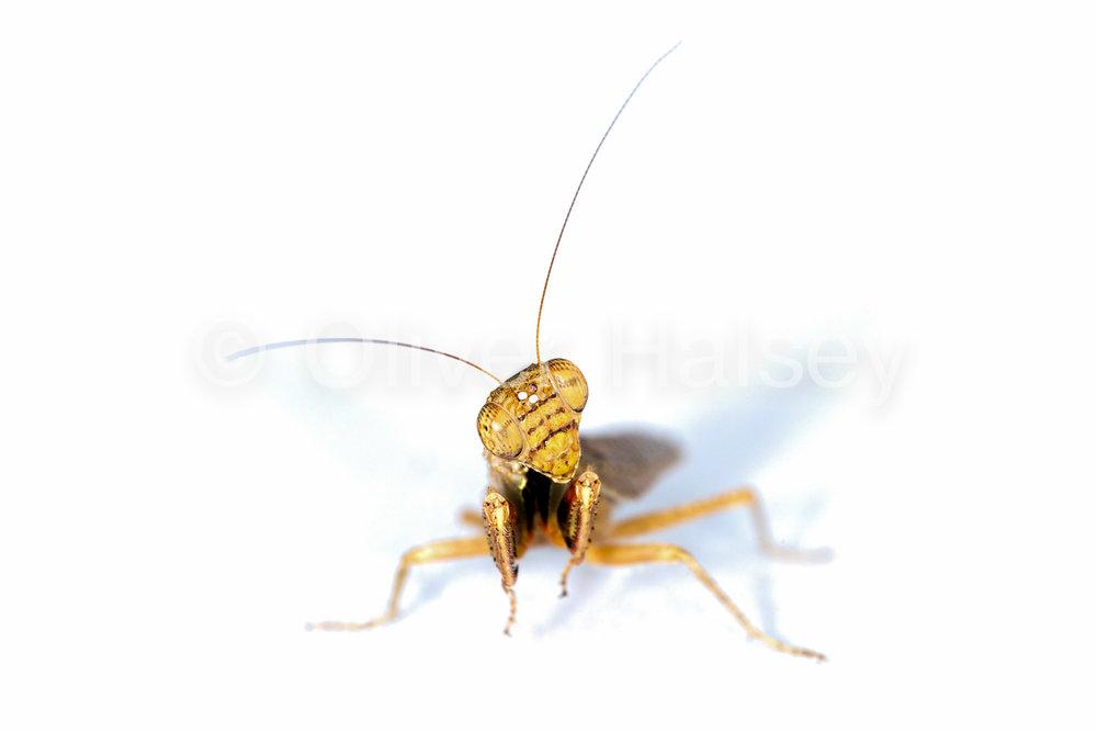 M10.  Praying Mantis, unknown species