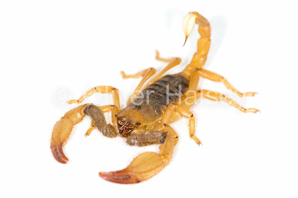 M13.  Scorpion,  Opistophthalmus sp.