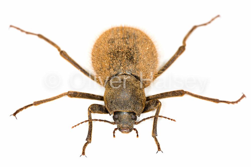 M14.  Tenebrionid beetle, unknown species