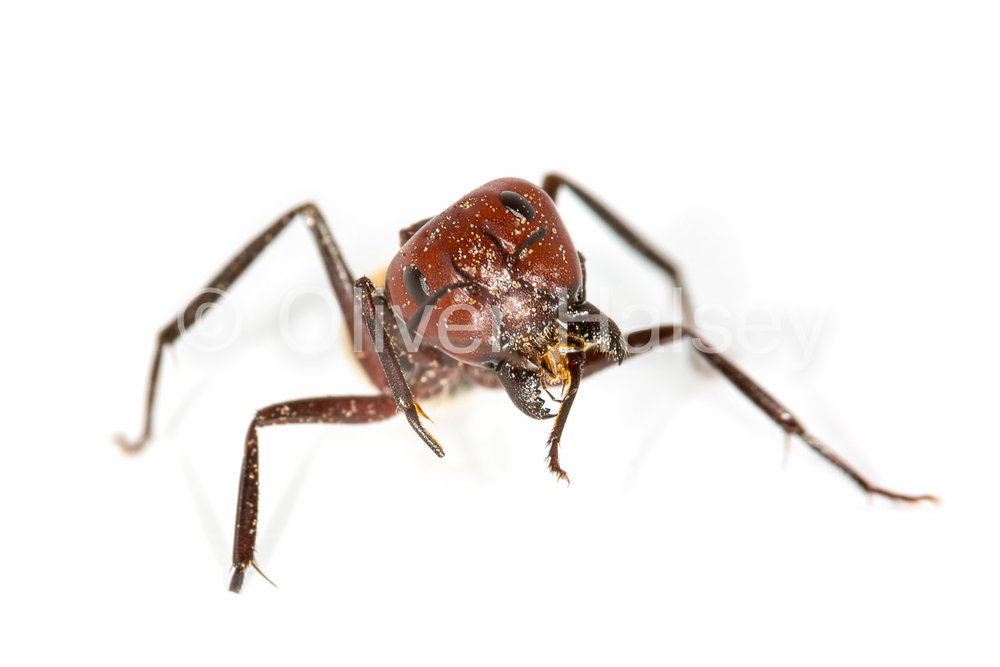 M23.  Namib Dune Ant,  Camponotus detritus