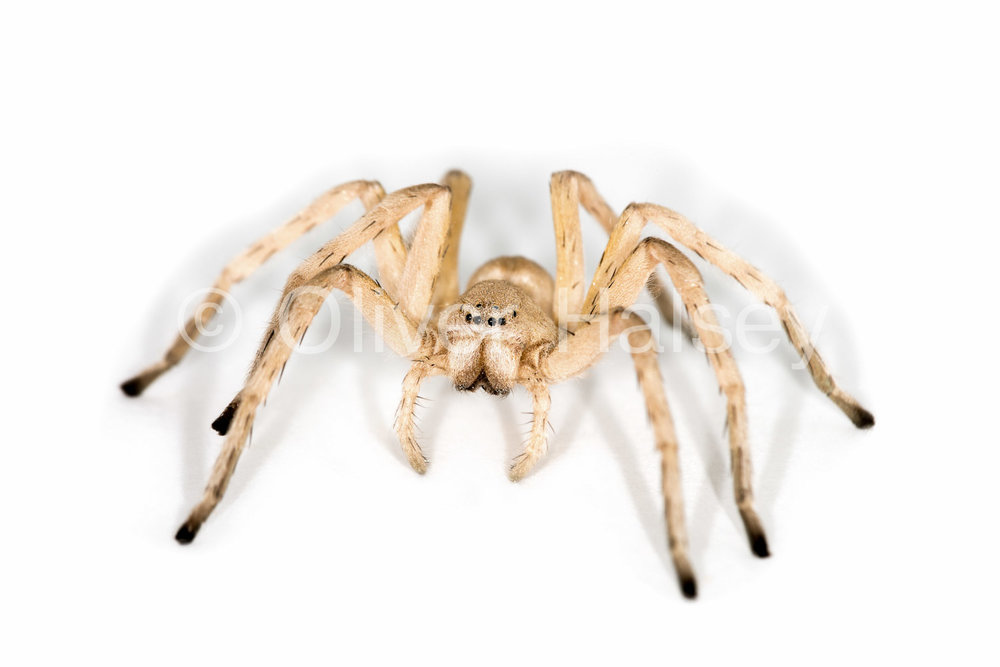 M24.  Wheel Spider,  Carparachne aureoflava