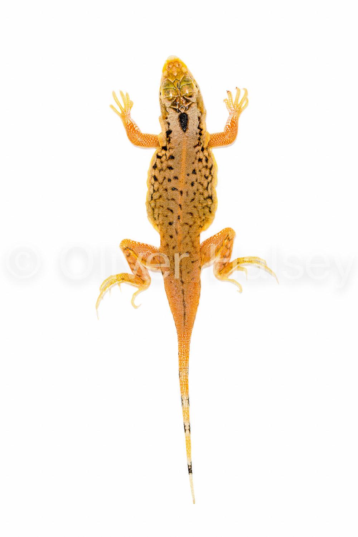 M31.  Shovel Snouted Lizard,  Meroles anchietae