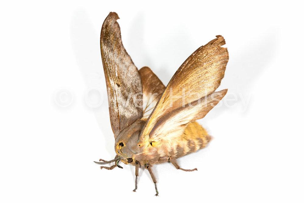 M34.  Moth