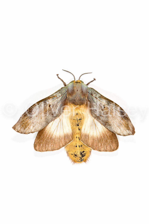 M35.  Moth