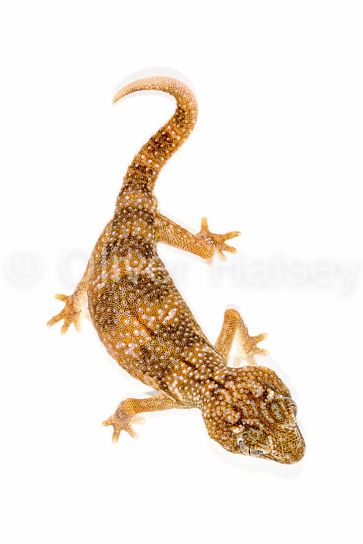 M38.  Giant Ground Gecko,  Chrondrodactylus angulifer