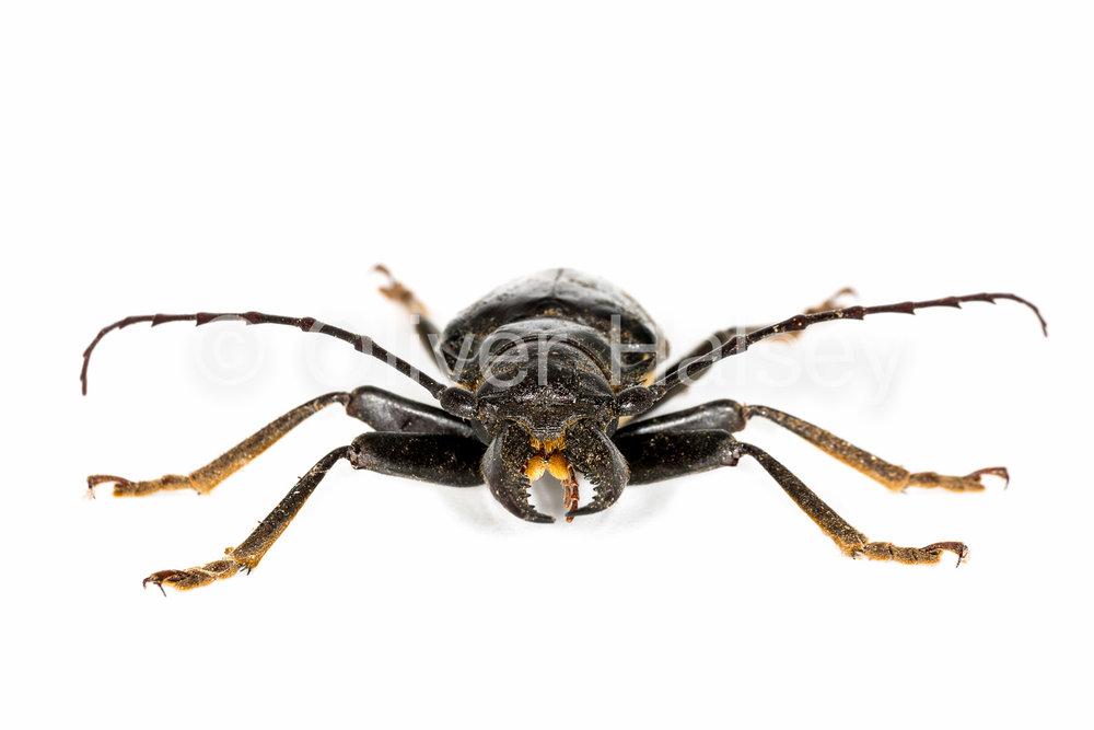 M42.  Tiger Beetle