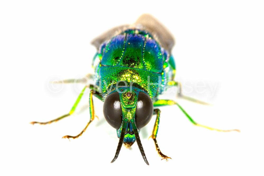 M55.  Green wasp, family Chrysididae