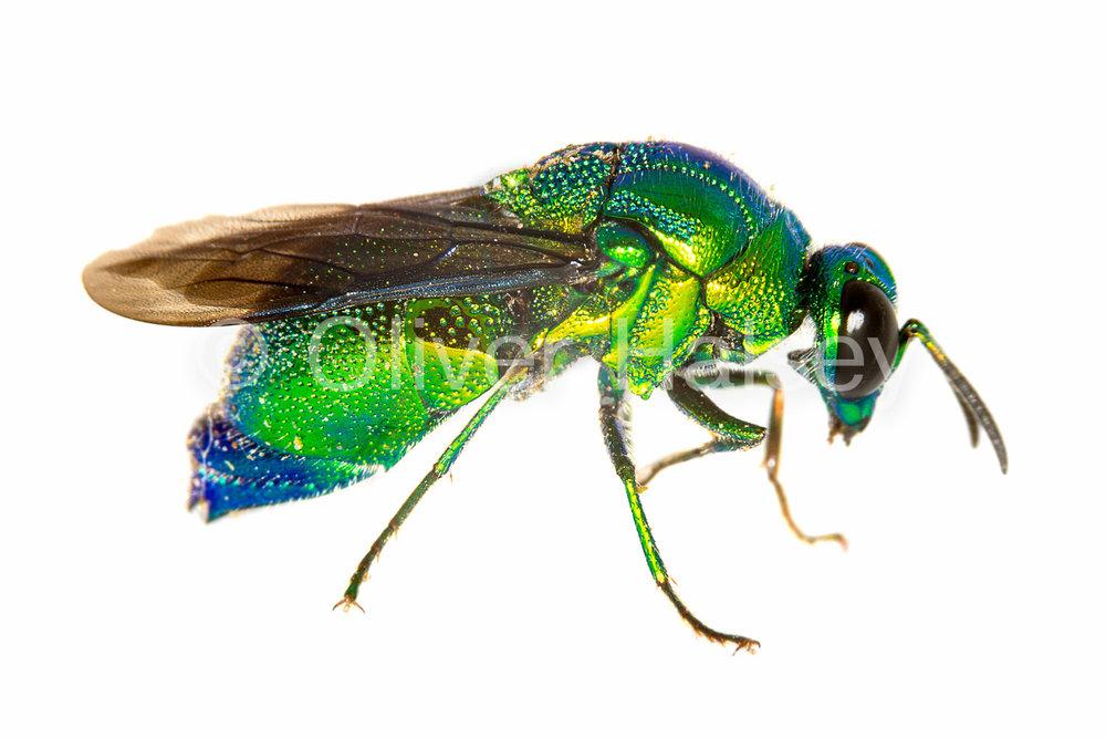 M54.  Green wasp, family Chrysididae