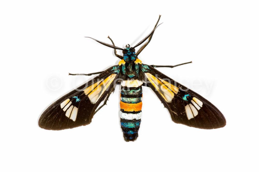 M57.  Handmaiden Moth (Family Ctenuchinae)