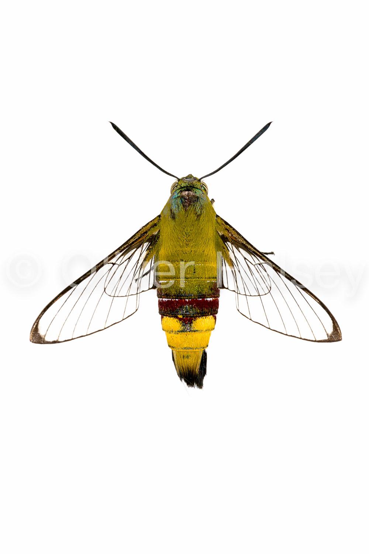 M61.  Oriental Bee Hawk ( Cephonodes hylas )