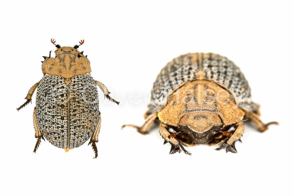 M62.  Carcass Beetle found on the carcass of a dead zebra, Namib Desert. (Trogidae)