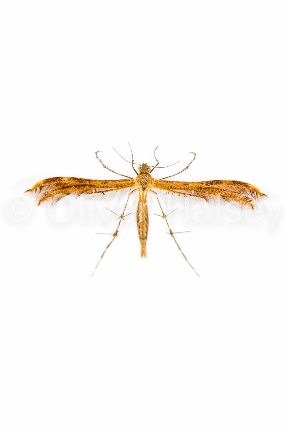 M66.  Plume Moth (Family Pterophoidae)