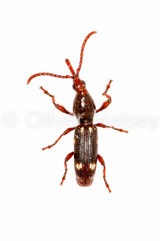 M69.  Primitive weevil (Family Brentidae)