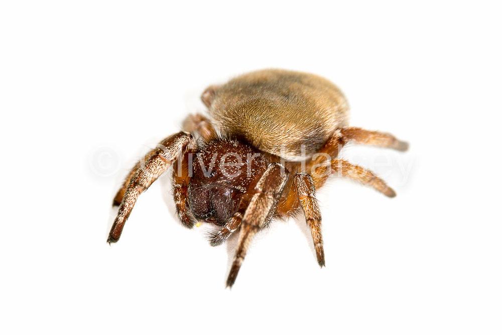 M71.  Female spoor spider,  Seothyra henscheli