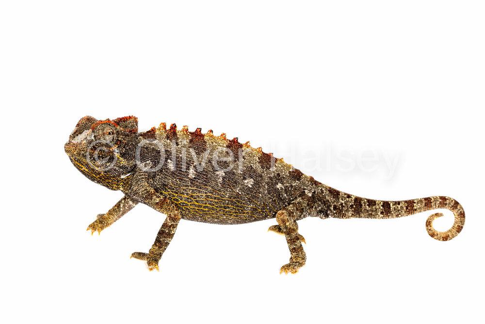 M81.  Namaqua Chameleon -  Chamaeleo namaquensis