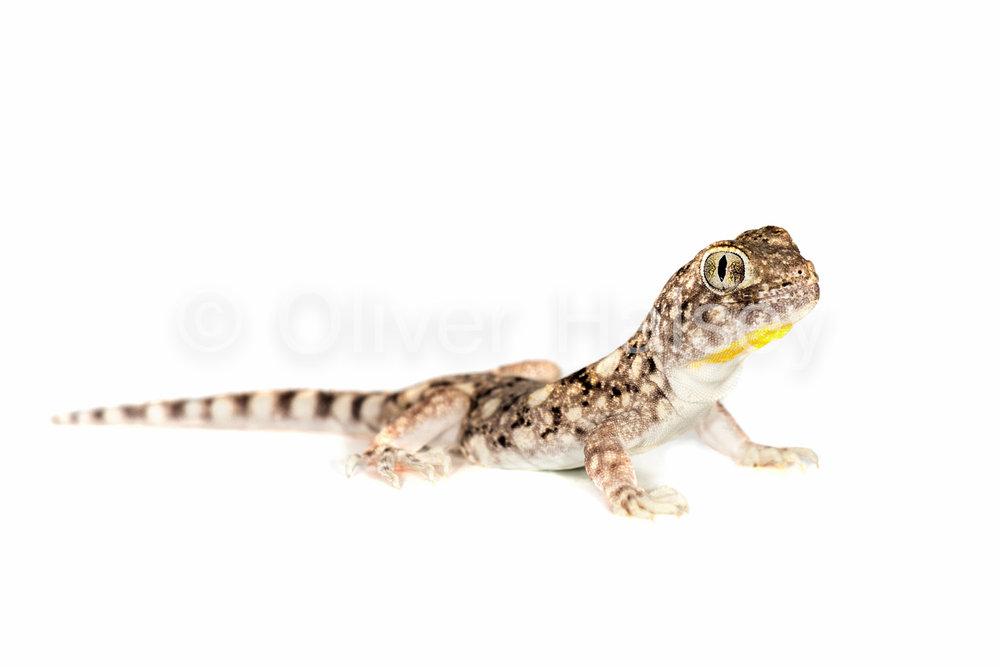 M85.  Barking Gecko,  Ptenopus   garralus