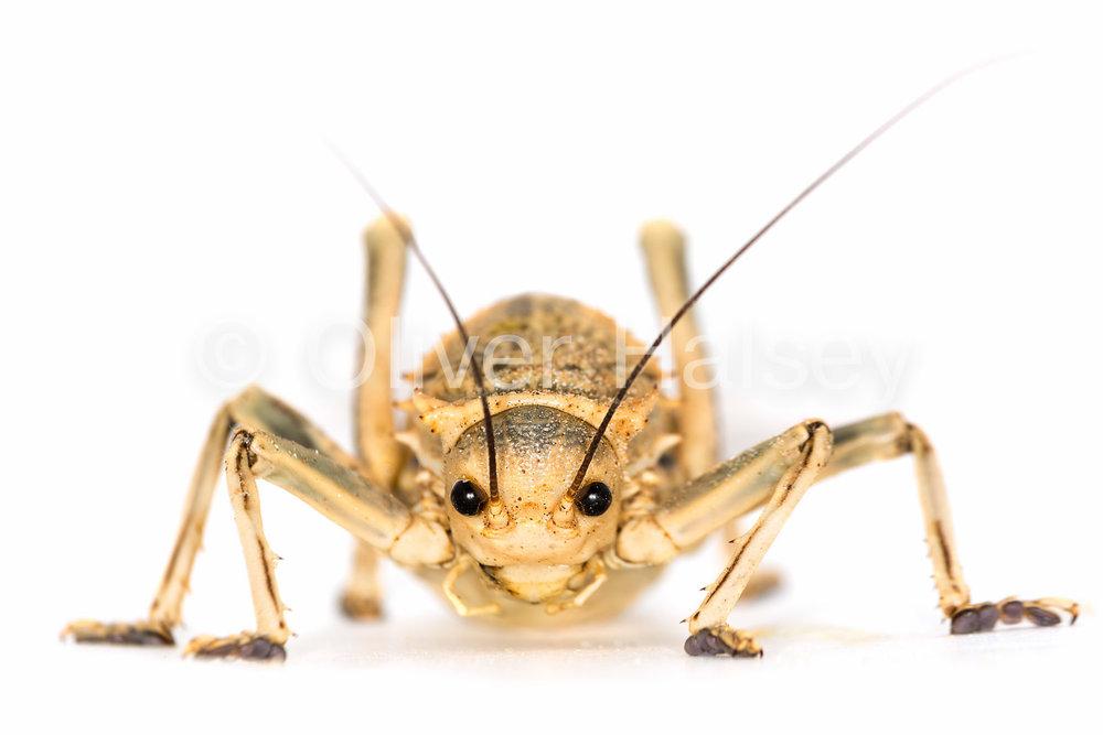 M89.  !Nara Cricket -  Acanthoproctus diadematus
