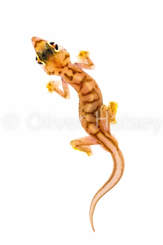 M91.  Palmato Gecko -  Pachydactylus rangei