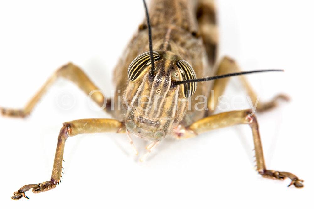 M52.  Grasshopper